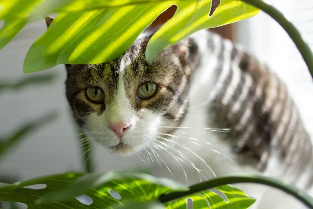 Katze guckt durch Blätter von Monstera
