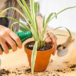 Person düngt Zimmerpflanzen