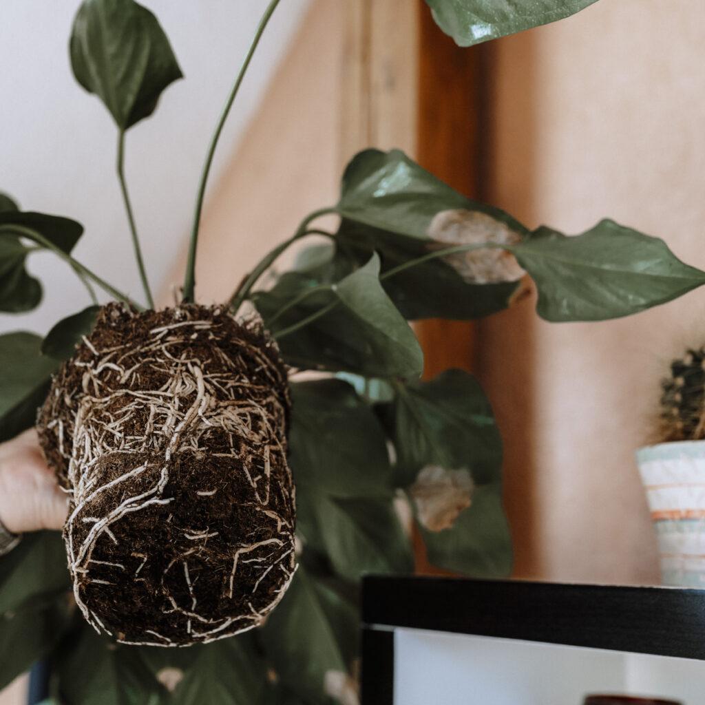 So topfst du deine Pflanzen richtig um